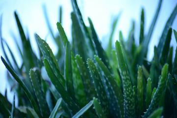 Aloe Vera Plant Home Remedies
