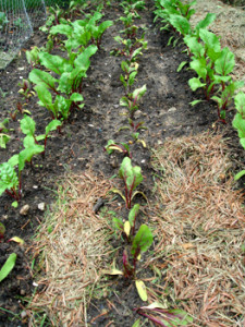 New Beet Plant Row After Thinning