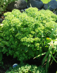 Sedum Plant Firtilized with Organic Compost